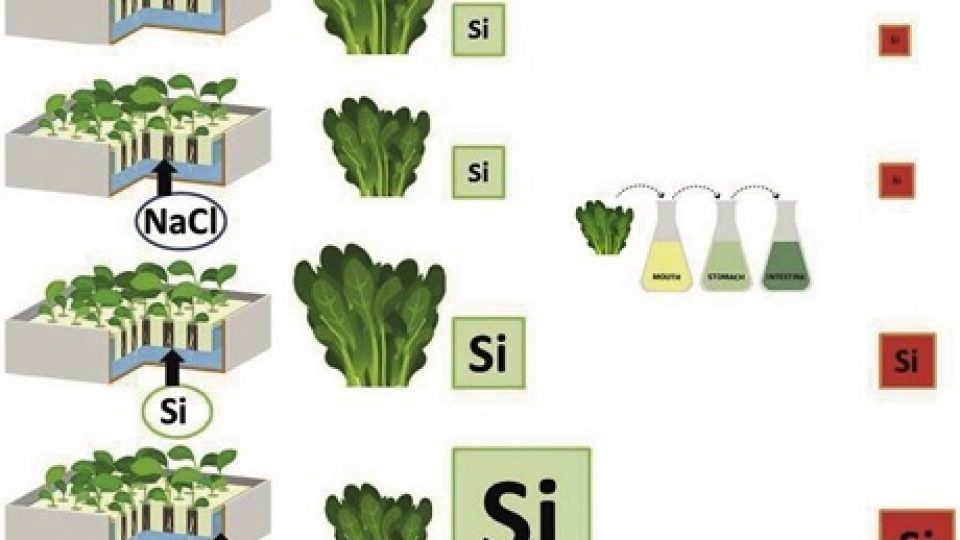 Biofortificazione_silicio